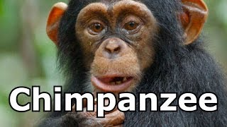 Chimpanzee  Sounds Chimpanzee  Pictures The Sound a Chimpanzee Makes
