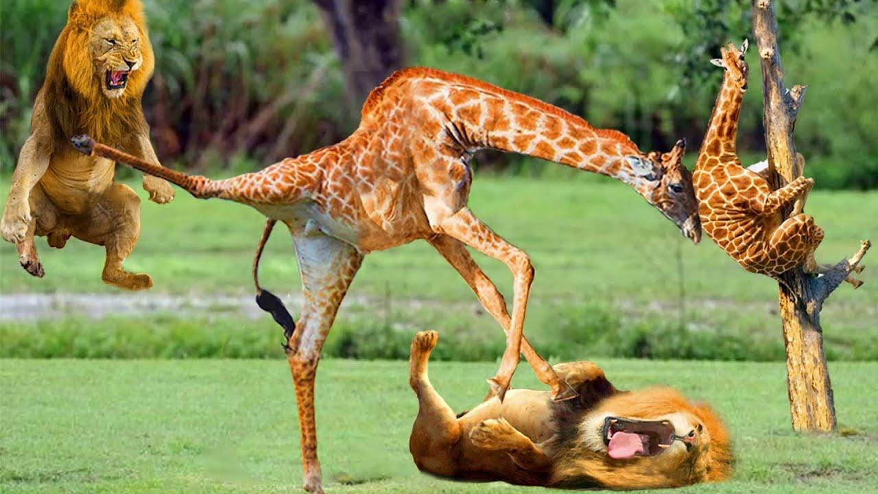 This Is Definitely Bitterest Lesson Giraffes Give To Lion | Lion vs Giraffes, Lion vs Buffalo, Hyena