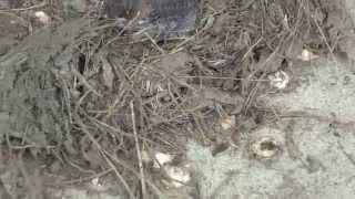ツバメ 全鳥落下、一匹は死亡 二匹は弱ってたのと落ちた衝撃で二匹は弱...