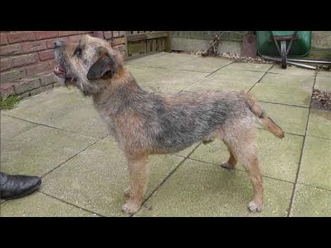 Dog Breed Video: Border Terrier