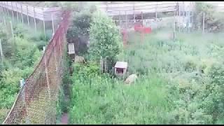 Первая охота амурского тигра Сайхана