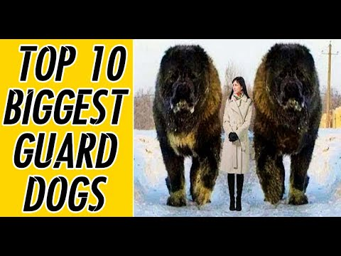 TOP 10 Biggest Guard Dogs That Blow Minds