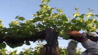 Plucking Grapes
