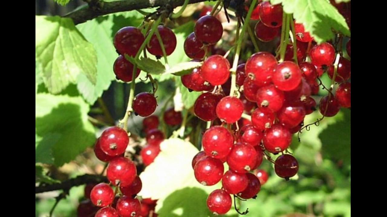 Кисло-сладкий сорт красной смородины Натали - YouTube