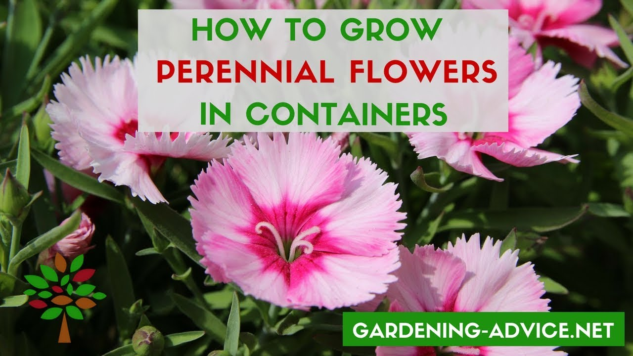 YouTube & Container Flower Gardening Tips - 10 Perennial Plants For Pots
