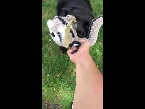 Belgian sheepdog playing around