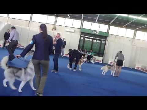 International Dog Show Of Messina (Special Show Of Championship 2012  Male Open Class)