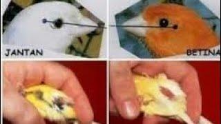 Tips jitu !! membedakan burung  kenari jantan dan betina