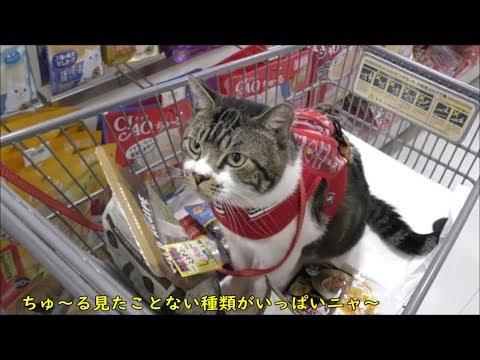 猫と一緒にお買い物☆リキちゃんの好みのカリカリを求めペットショップへ☆猫とお出かけ【リキちゃんねる 猫動画】Cat video キジトラ猫との暮らし