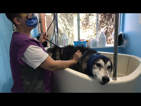 Husky blow dry and bath