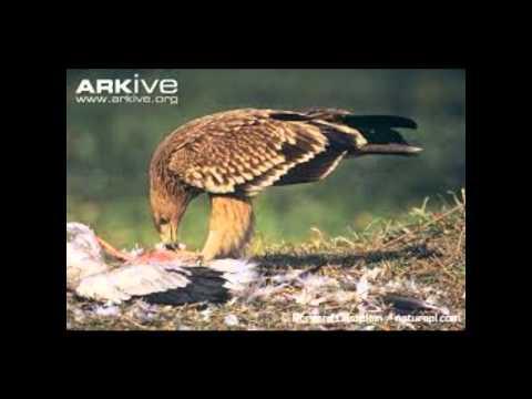 2014 Wilber Cornejo Spanish Imperial Eagle