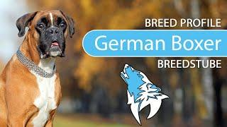 German Boxer Breed, Temperament & Training