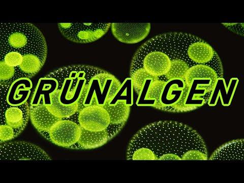 grünalgen-und-wie-ihr-sie-wieder-los-werdet.-grüne-fadenalgen-richtig-bekämpfen!-algen-im-aquarium?!