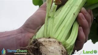 CROPS WATCH: Have you been feeding your beet crop?