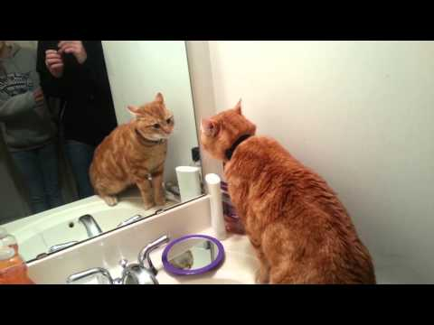 Perseus the cat talks to himself in the mirror.