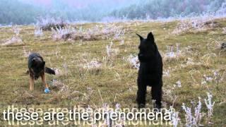 Frozen Meadow - German Shepherd And Giant Schnauzer