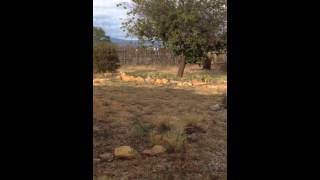 Baixar Scaled Quail dad and chicks, Santa Fe, NM