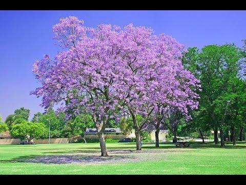 C mo germinar jacarandas youtube for Planta ornamental jacaranda