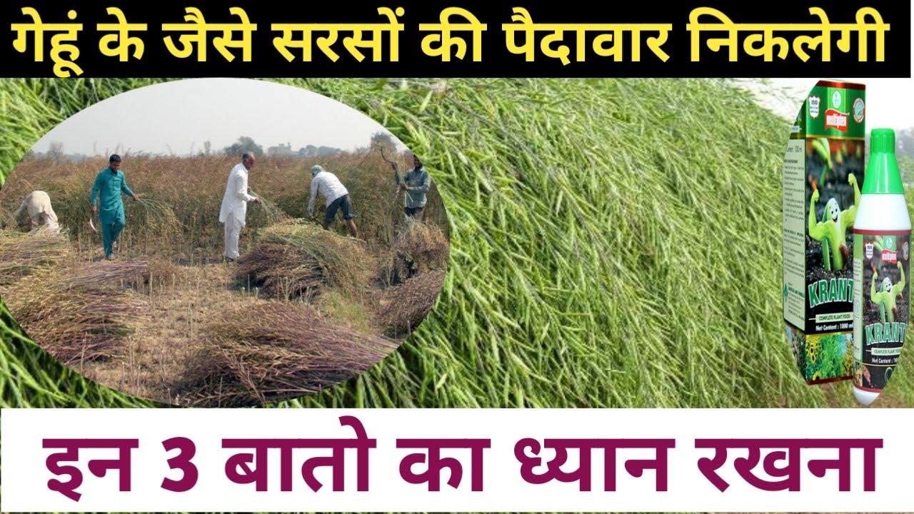 सरसों की खेती में इन 3 बातों का ध्यान रखना पैदावार गेहूं के जैसे निकलेगी   musterd farming in hindi
