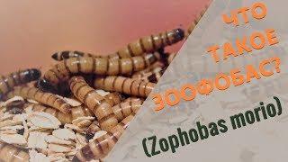 Зоофобус, зоофобас, зоофобос. Что  такое зоофобас?