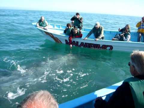 BAJA California 2010 Guerrero Negro Whale Spotting 5.MOV
