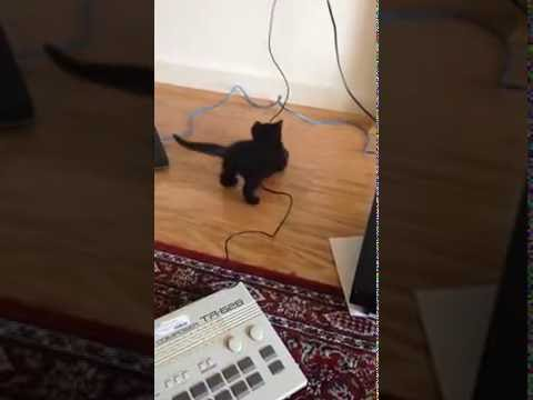 Black Bombay Kitten Playing with Synthesizers and Cables