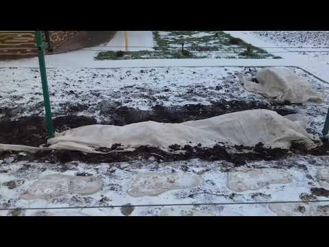 Как укрыть виноград на зиму. Проверенный способ