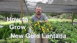 How to grow New Gold Lantana with detailed description