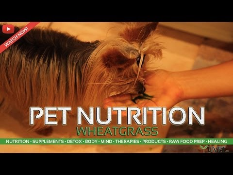 WHEATGRASS for PETS &  DOGS ◦ LIVET.tv with TONAMY, TINA & TOMMY of LIVET LIFESTYLE