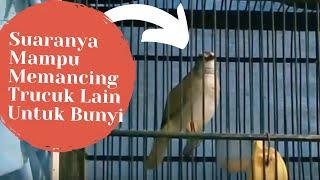 Burung Trucuk Anda Males Bunyi? Coba Suara Pancingan Trucukan Biar Ropel dan Gacor