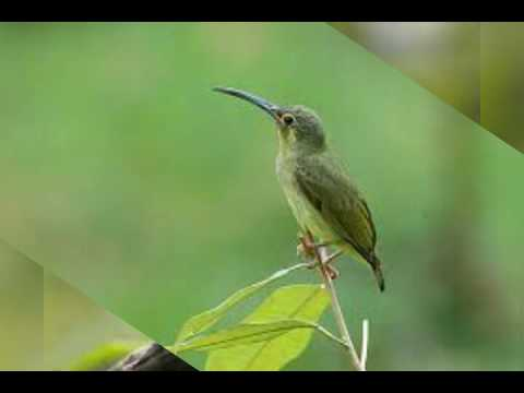 Suara Pikat Burung 3 ( Kolibri Betina & Ciblek Betina)