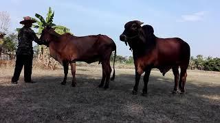 วัวอาการเป็นสัดพร้อมผสมพันธุ์