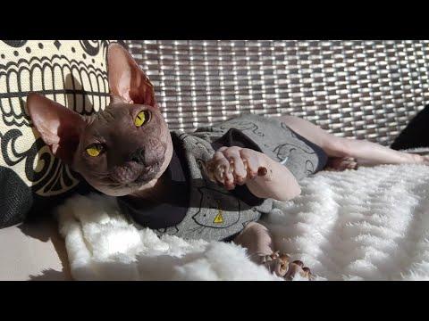 """Lovely sphynx cat """"Rango"""" / DonSphynx /"""