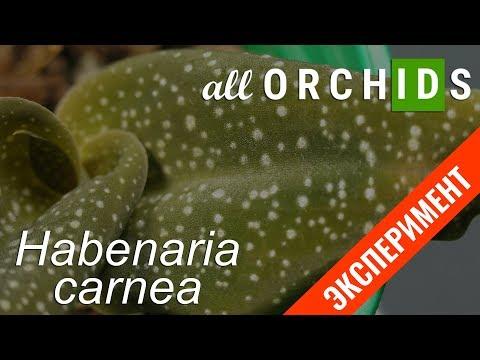 #ALLORCHIDS #ЭКСПЕРИМЕНТ Habenaria Carnea. 27 дней в Вермигрунте.