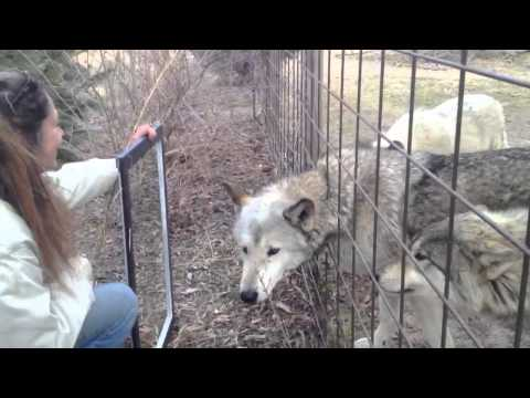The Wolf-Dog Mirror Experiment