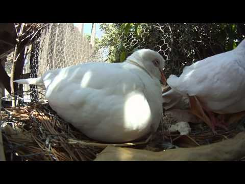 Male dove brooding two Baby doves