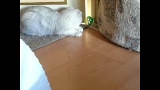 Шотландская вислоухая кошка.  Серебристая шиншилла
