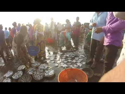 Harnai Bunder | Fish Auction