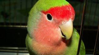 Попугай танцует под музыку! Прикол. Dancing Parrot