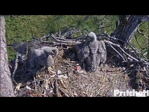 SWFL Eagles ~ Pleasant Feeding; E8 Eats Side By Side With E7 2.22.16