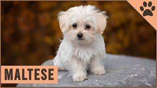 Maltese Dog Breed  Best Toy Dog Breed?