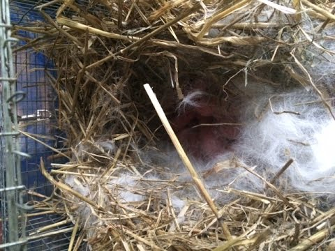 Newborn Rabbits And Concernes With Mom Abandoning Them If I Touch Them