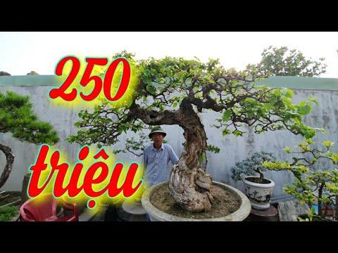 SH.3881. Cây Hoa giấy đẹp 250 triệu vườn cảnh Lê Văn Sỹ. An Lão Hải Phòng.