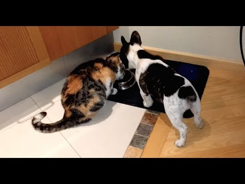 Pixel the French Bulldog Puppy Steals Cat's Food