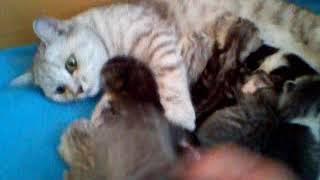 Шоландские вислоухие котята Стерлитамак  питомник Николас и ларсон