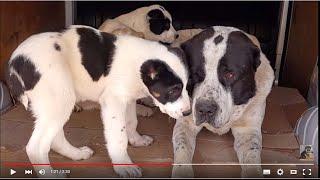 ОГРОМНЫЙ АЛАБАЙ Алан и его ДЕТИ.Huge security dogs Alabai.