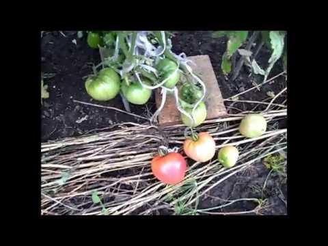 Сорт помидоров МАЗАРИНИ