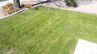 How to Plant Winter Grass: Update (3-4 months after planting the rye grass)