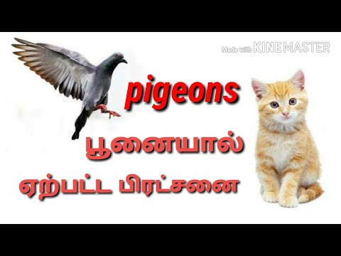 Cat attack pigeon to produced problem || solution in tamil