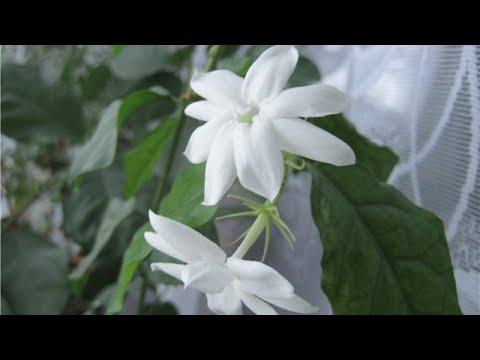 Размножение черенками жасмина. - YouTube